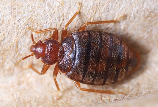bed-bugs-treatment Houston Dermatologist FAQ: What Are Bed bugs And Treatment For Them  Houston Dermatologist